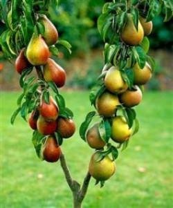 Многочисленные растениеводческие питомники в настоящее время предлагают богатый выбор колоновидных культур
